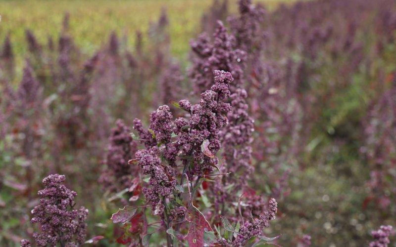 Quinoa - komosa ryżowa